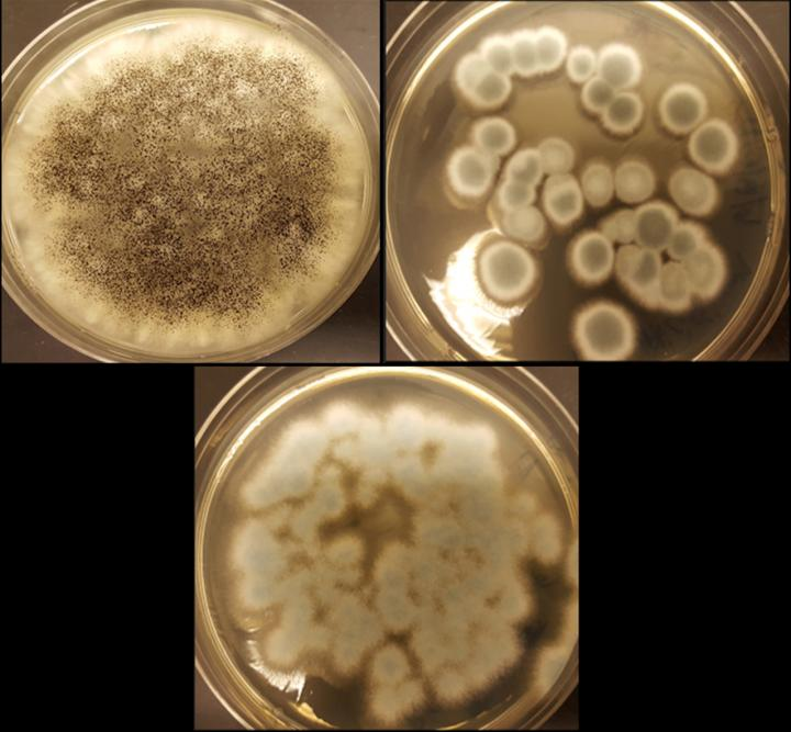 Fungi recycle Rechargeable Lithium-Ion Batteries
