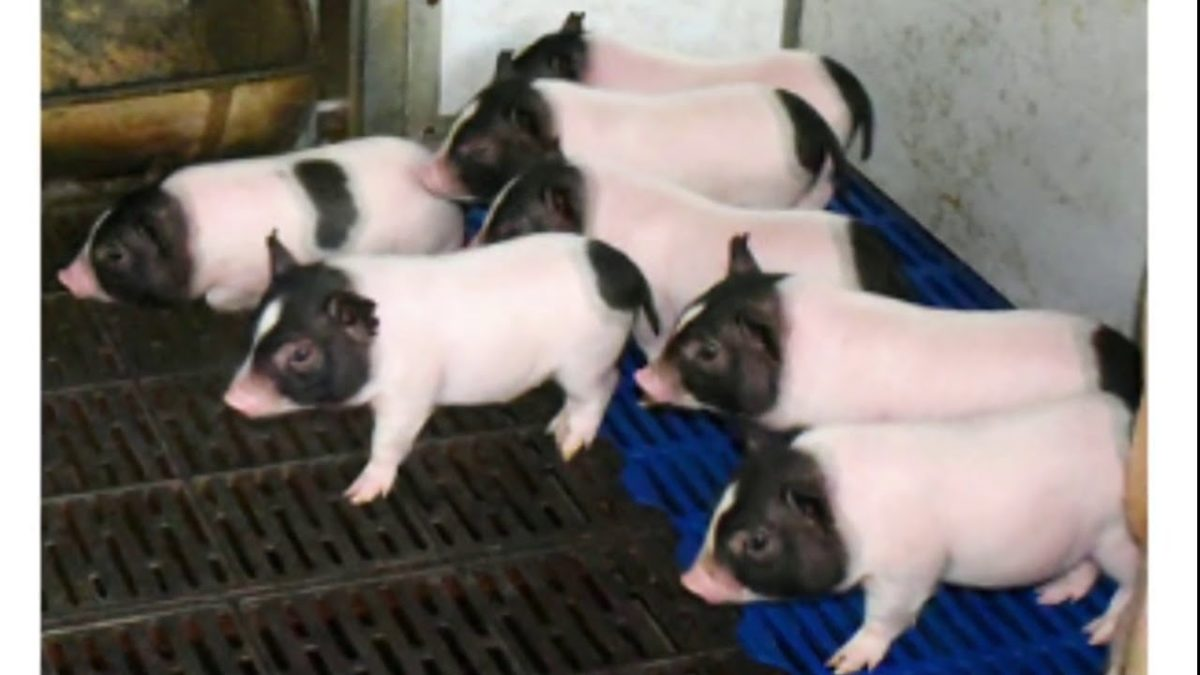 Scientists Created Low-Fat Pigs by Editing Their Genes With CRISPR