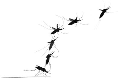 A mosquito's secret weapon: a light touch and strong wings